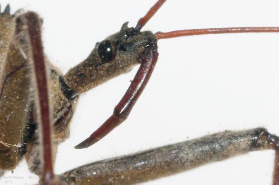 Pinned Specimen - Arilus cristatus