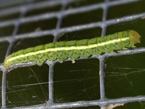 Green caterpillar with white stripe - Baileya