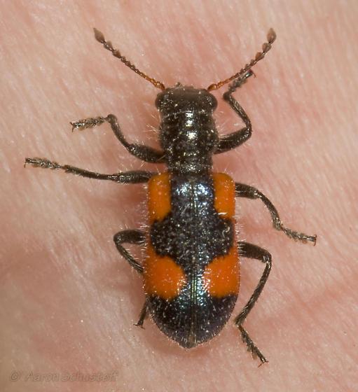 Cleroidea? (Cleridae or Melyridae?) - Aulicus antennatus