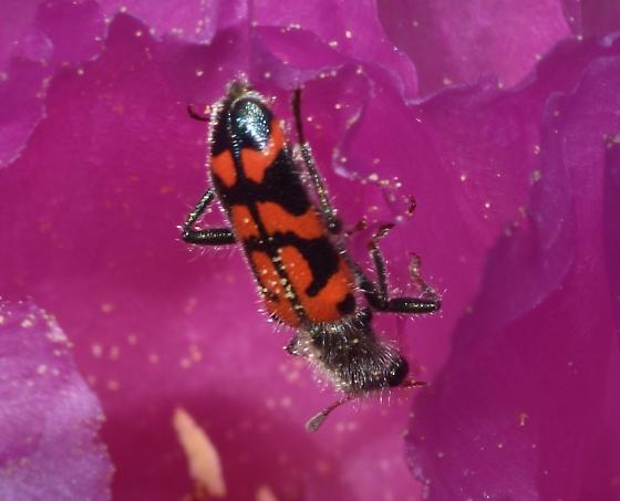 Beetle on beavertail cactus flower - Trichodes ornatus