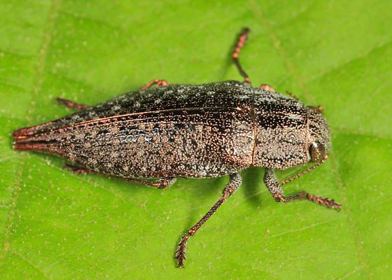 Buprestid - Dicerca caudata - female