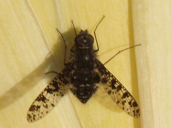 Bee Fly? - Anthrax