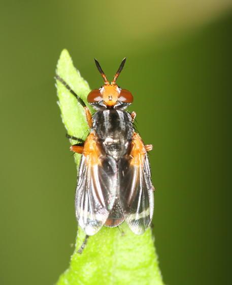 Fly - Euthera tentatrix