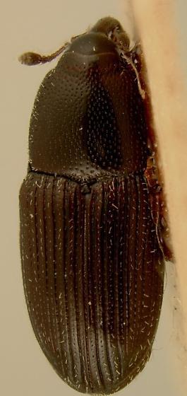 Apinocis nasutus