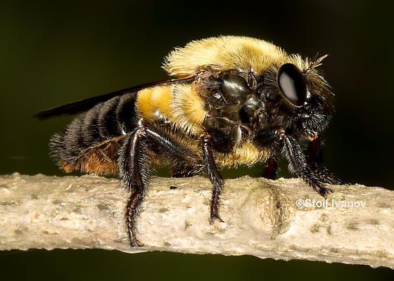 Dasylechia atrox or just a bumblebee ? - Dasylechia atrox