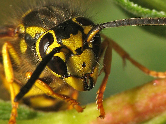 Western Yellow Jacket - Vespula pensylvanica