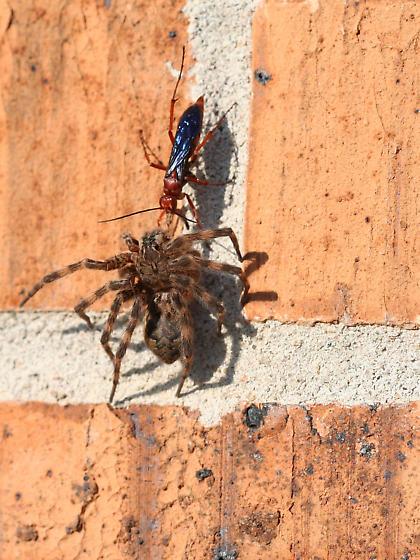 Wasp with spider prey - Tachypompilus ferrugineus