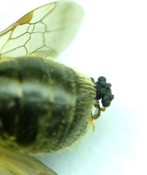 Bee, and its little friend - Stylops