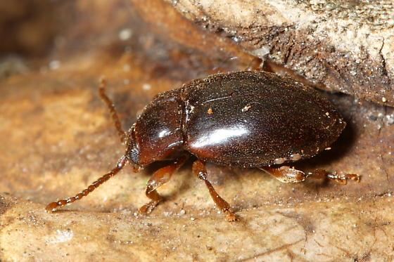 Puffball Beetle - Lycoperdina ferruginea
