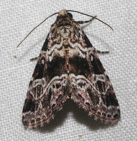Eustrotiini Owlet Moth - N-genus n-sp