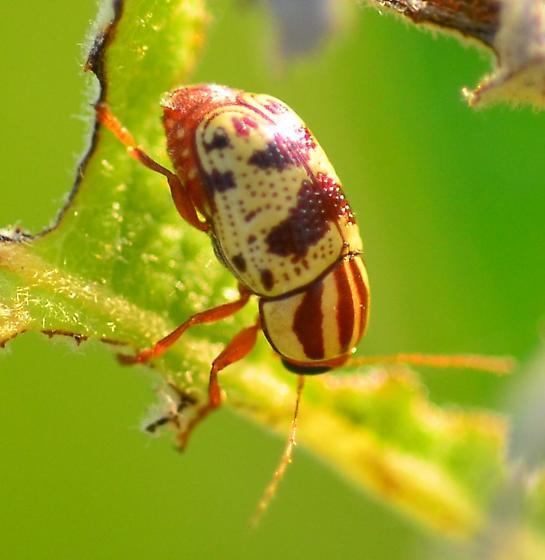 striped leaf beetle 2 - Cryptocephalus leucomelas