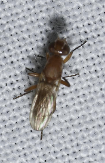 backyard fly - Zacompsia fulva