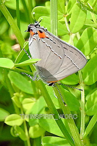 Butterfly2018007 - Strymon melinus
