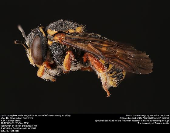Leaf-cutting bee, male (Megachilidae, Anthidiellum notatum (Latreille)) - Anthidiellum notatum - male