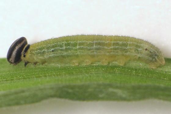 Unid. caterpillar - Lerema accius
