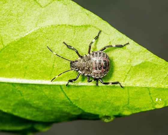 Possible Picromerus Bidens Nymph - Halyomorpha halys