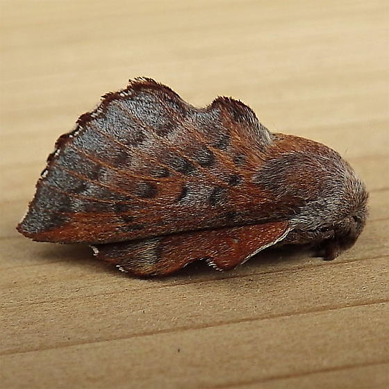 Lasiocampidae: Phyllodesma americana - Phyllodesma americana