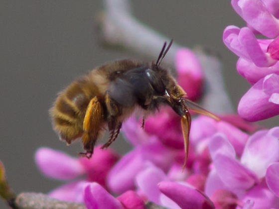 Spring bumble bee - Anthophora villosula