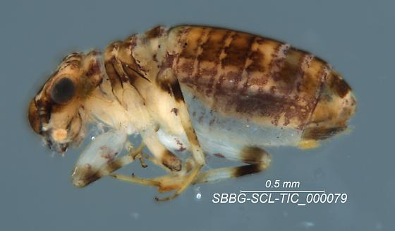 Psocodea - Cerobasis