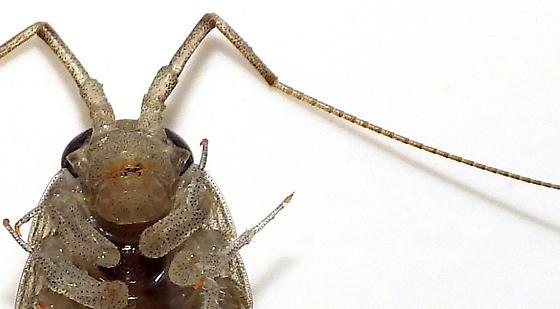 Crustacean - Ligia baudiniana