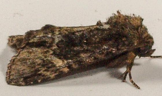 Moth to porch light  - Phosphila turbulenta