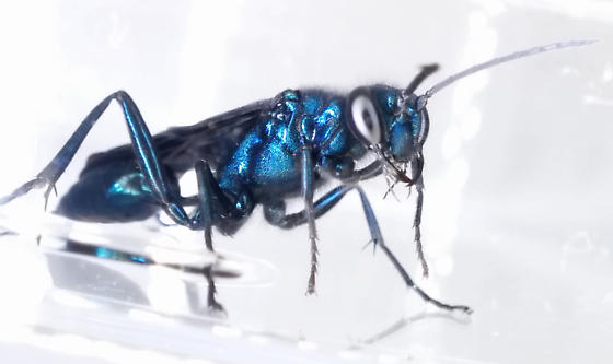 Chalybion californicum ? - Chalybion californicum - female