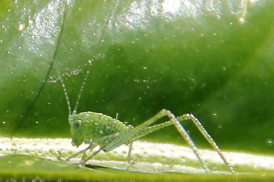 Which species of Katydid is this? - Microcentrum