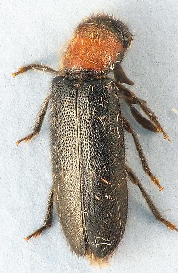 Neorthopleura thoracicum - Neorthopleura thoracica