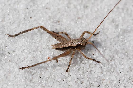 juvenile Orthopteran, scrub habitat - Atlanticus