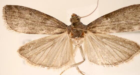 Phycitinae - Oreana unicolorella - male