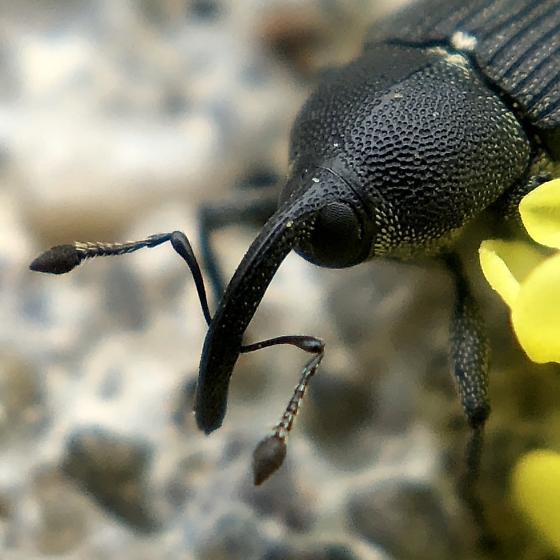 Weevil Beetle ? - Odontocorynus