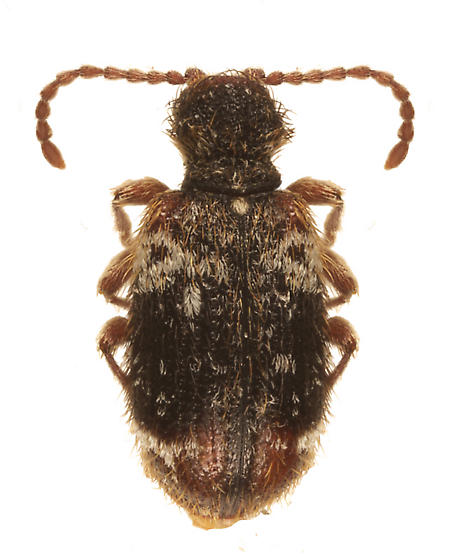 unknown beetle - Ptinus
