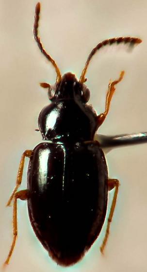 small carabid... - Elaphropus xanthopus