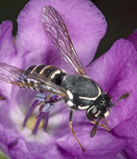 Female Pollen Wasp on Phacelia calthifolia - Pseudomasaris basirufus - female