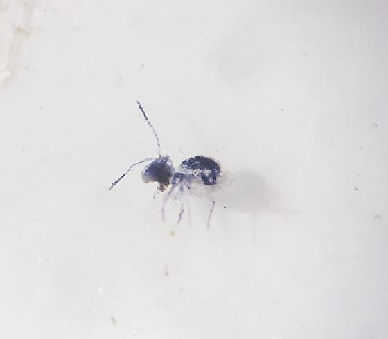 Possible Globular springtail