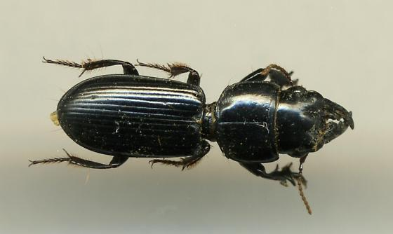 Ground Beetle - Scarites subterraneus