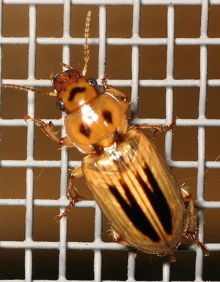 Stenolophus lineola