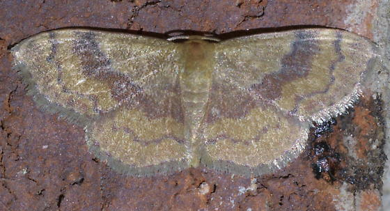 Tan moth with maroon bands - Leptostales ferruminaria