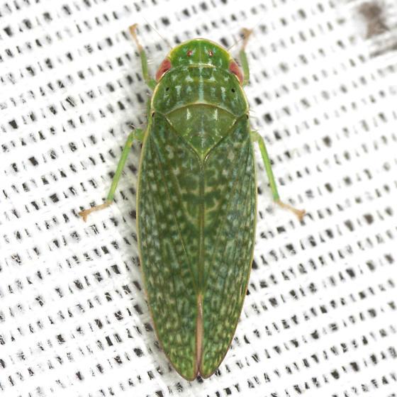 Unknown Gyponinae Leafhopper - Rugosana querci - male