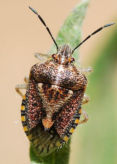 Mugwort Stink Bug - Agonoscelis puberula