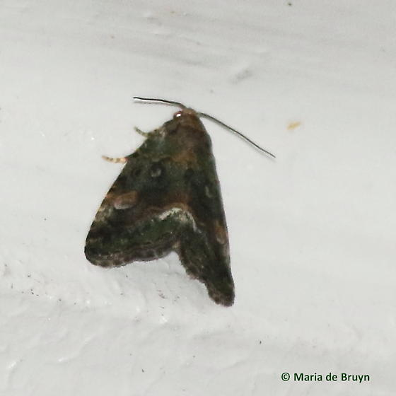 Small mossy Lithacodia moth