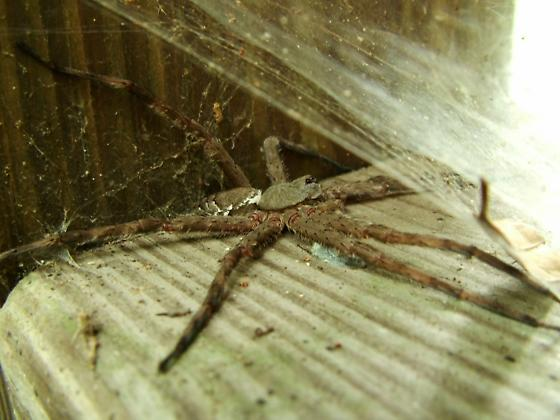 Large spiders we found while at the okefenokee - Dolomedes