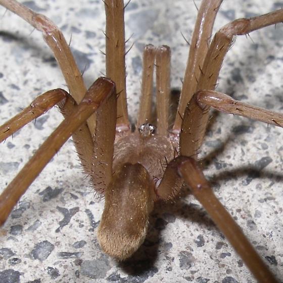 Southern House Spider - Kukulcania hibernalis - male
