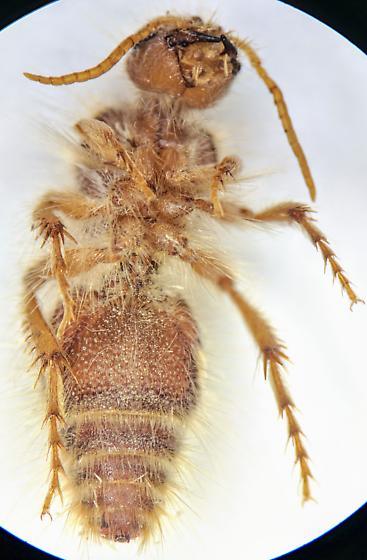 Afton Canyon N1 - Dilophotopsis - female