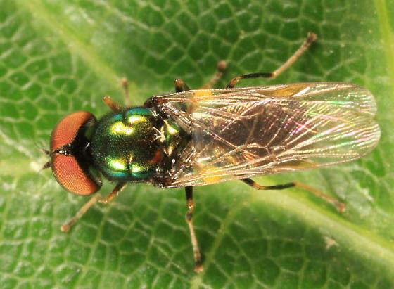fly - Microchrysa polita - male