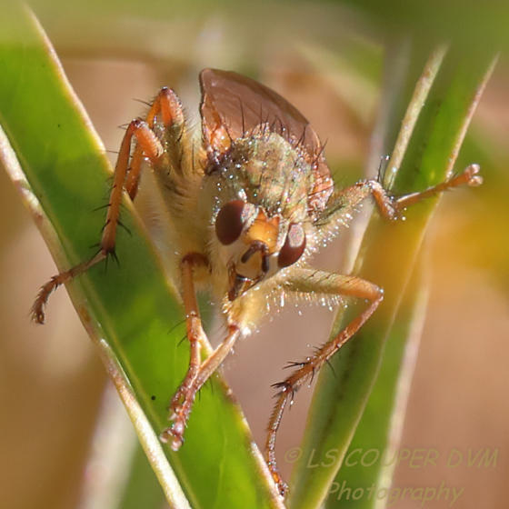 Robber Fly? Scathophaga stercoraria? - Scathophaga stercoraria