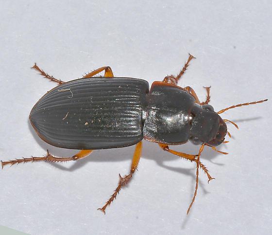 Carabidae - Harpalus