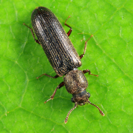 beetle - Lyctus carbonarius