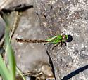 Rusty or Brook Snaketail? - Ophiogomphus rupinsulensis