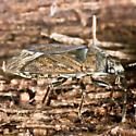 Unknown bug - Peritrechus convivus